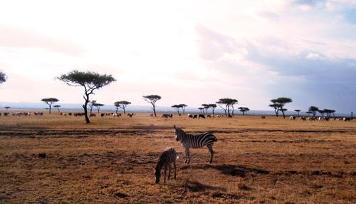 Kenya Painting Zebras